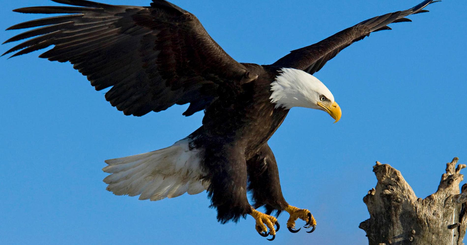 Assez Des aigles dressés pour capturer des drones aux Pays-Bas - Tech  FS46