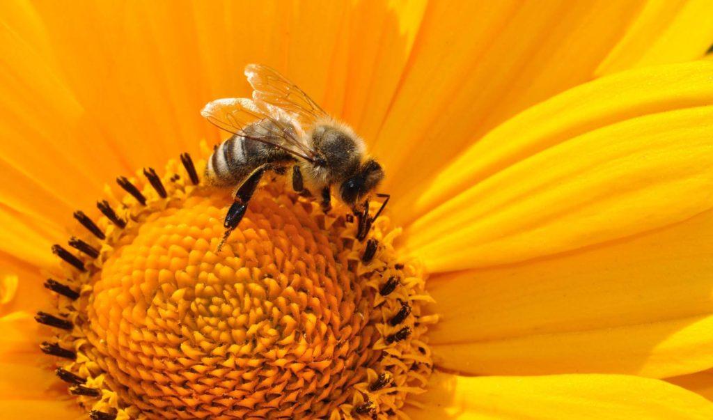 abeille fleur pollen insecte