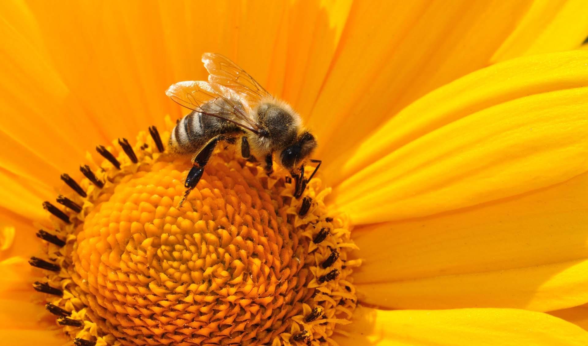 les abeilles seront elles remplac es par des mini drones pollinisateurs sciences numerama. Black Bedroom Furniture Sets. Home Design Ideas