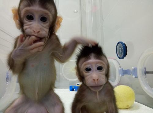 Les deux bébés macaques Zhong Zhong et Hua Hua.
