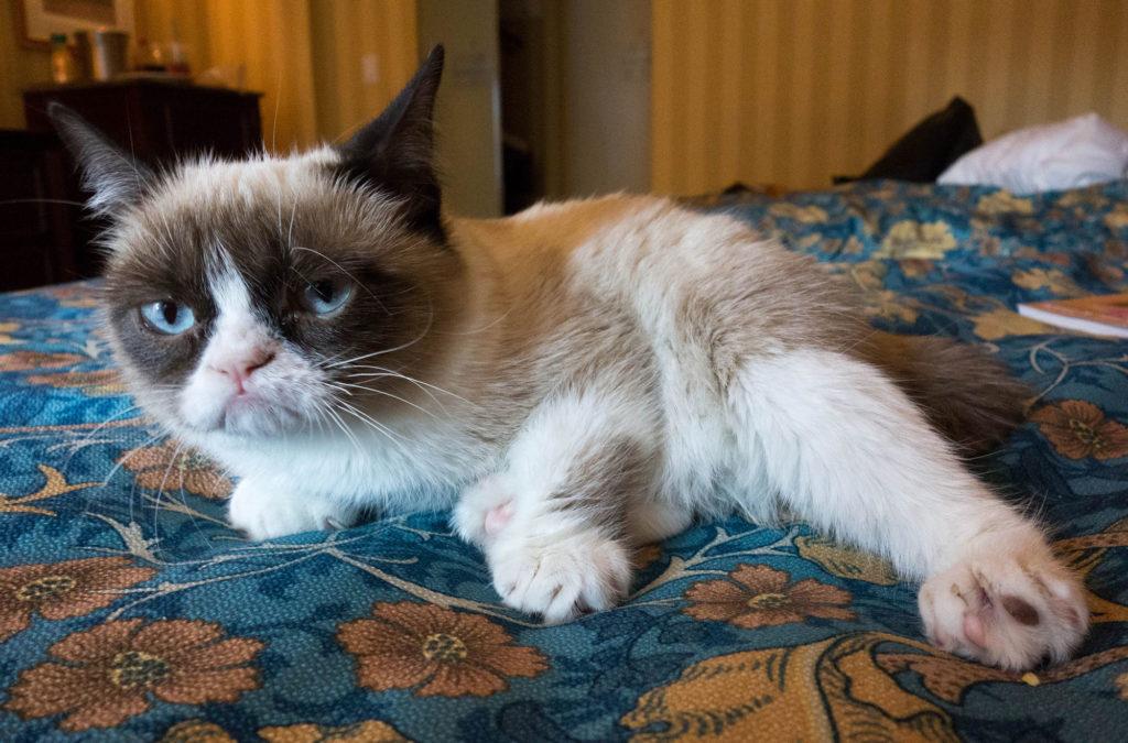 chat Grumpy cat