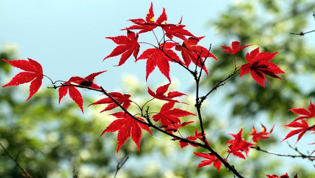 erable-feuille-nature-arbre