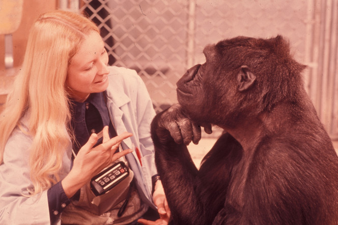 La gorille qui parlait le langage des signes est morte