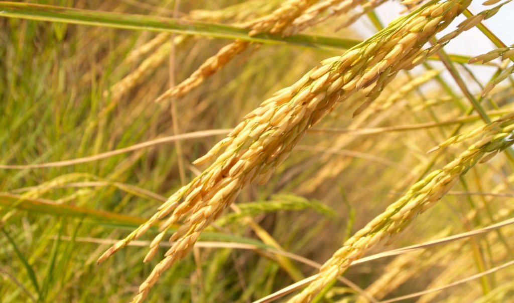 rice riz céréale