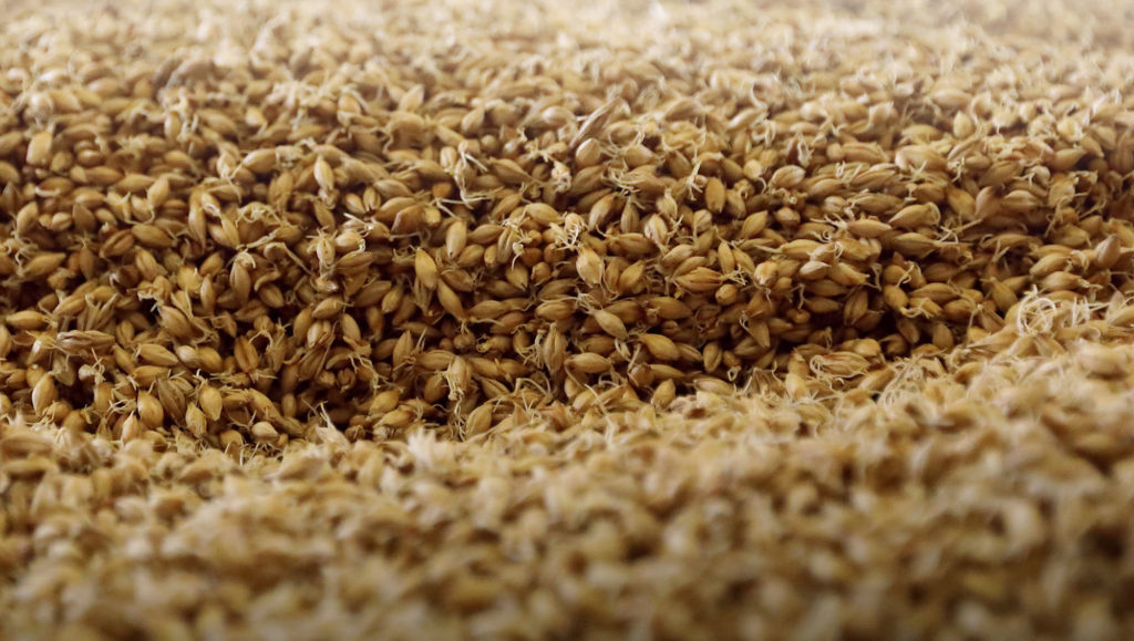 grain d'orge malt