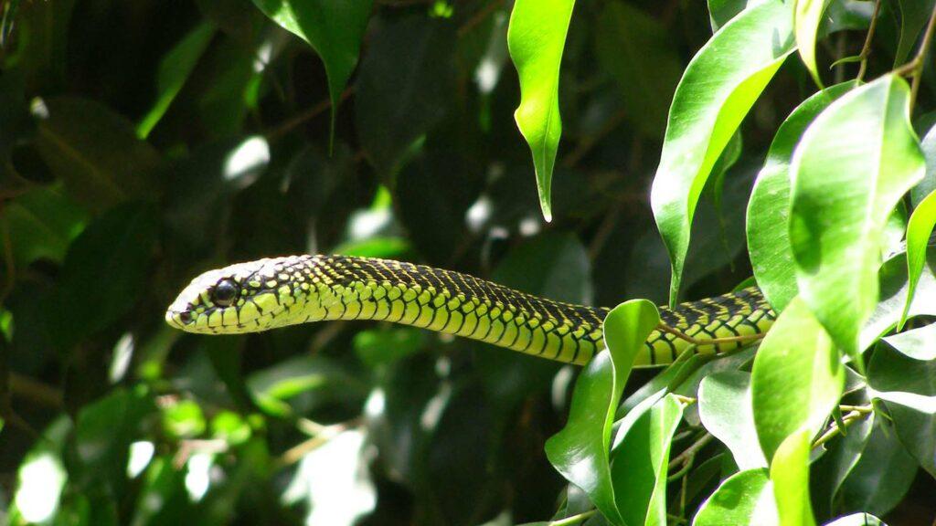 Boomslang serpent