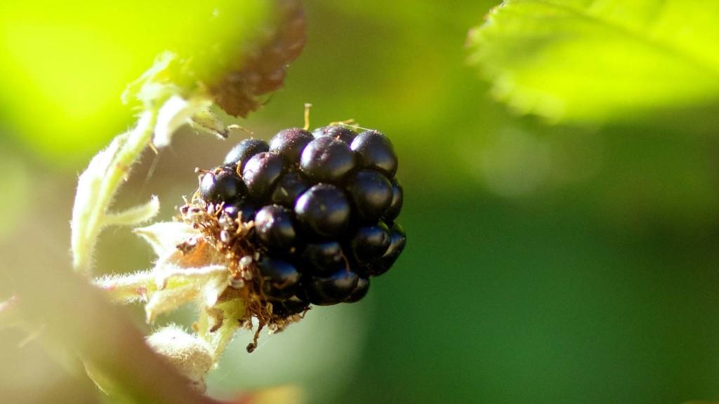 BlackBerry nature